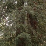 Sequoia sempervirens, especie de 23 mts de altura y 120 años aprox. Ejemplar en el Real Jardín Botánico de Madrid