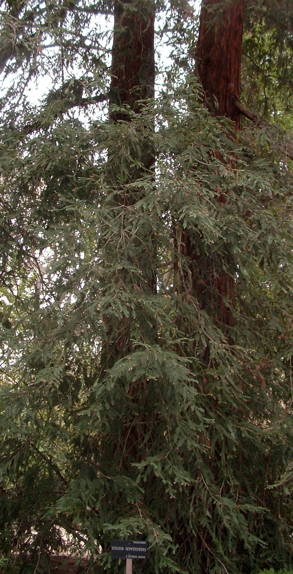 Sequoia sempervirens la secuoya roja el rbol m s alto for Arboles altos para jardin