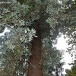 Sequoia sempervirens hoja verde en el haz y gris en el enves