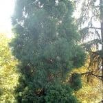 Sequoiadendron giganteum Secoya gigante en otoño