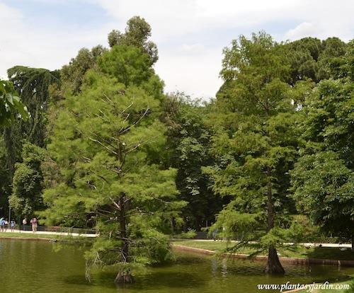 Taxodium distichum-Ciprés de los pantanos en el Parque del Buen Retiro-Madrid