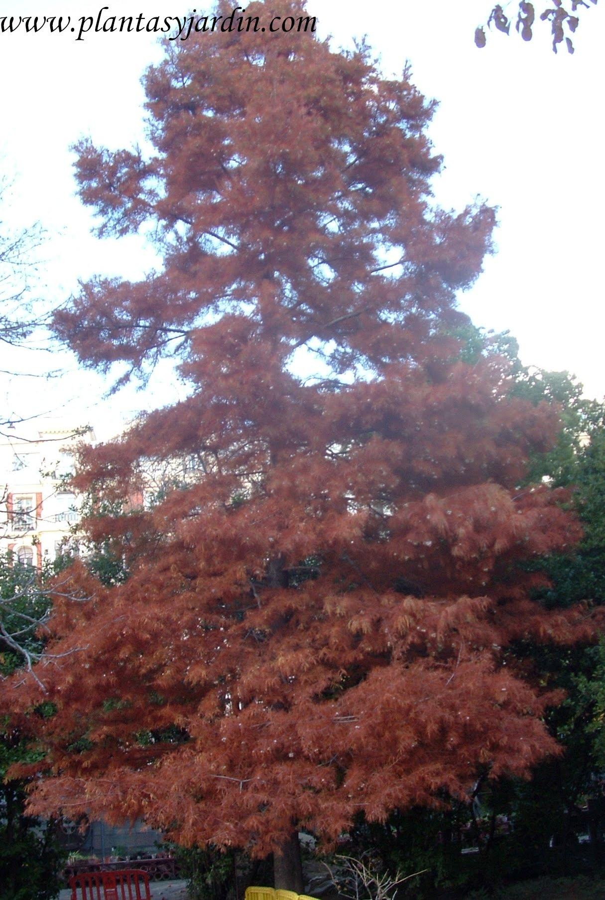 Taxodium distichum en otoño