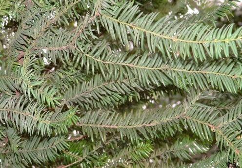 Taxus baccata, detalle follaje