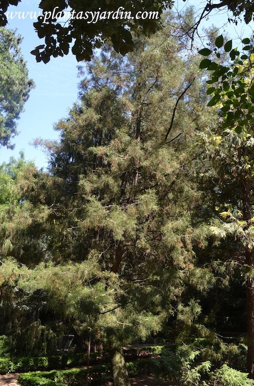 Tetraclinis articulata, Ciprés de Sabina