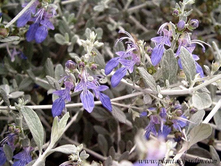 Teucrium fruticans pequenas florcitas azules