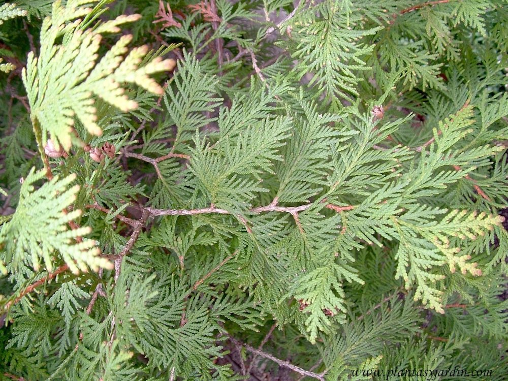 Thuja occidentalis Sunkist detalle follaje