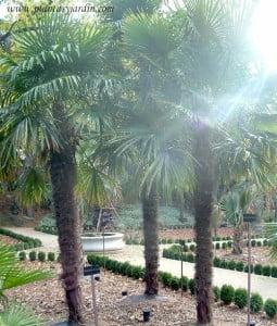 Trachicarpus fortunei conjunto de tres palmeras