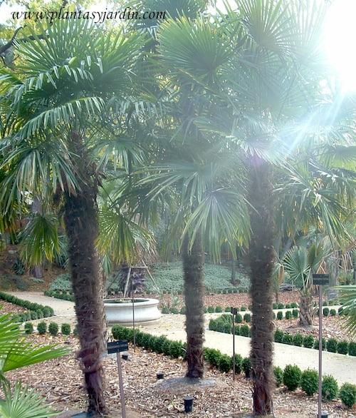 Trachicarpus fortuneii conjunto de tres palmeras