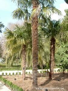Trachycarpus fortunei, ideal para zonas con climas fríos