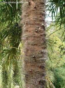 Trachycarpus fortunei detalle estípite