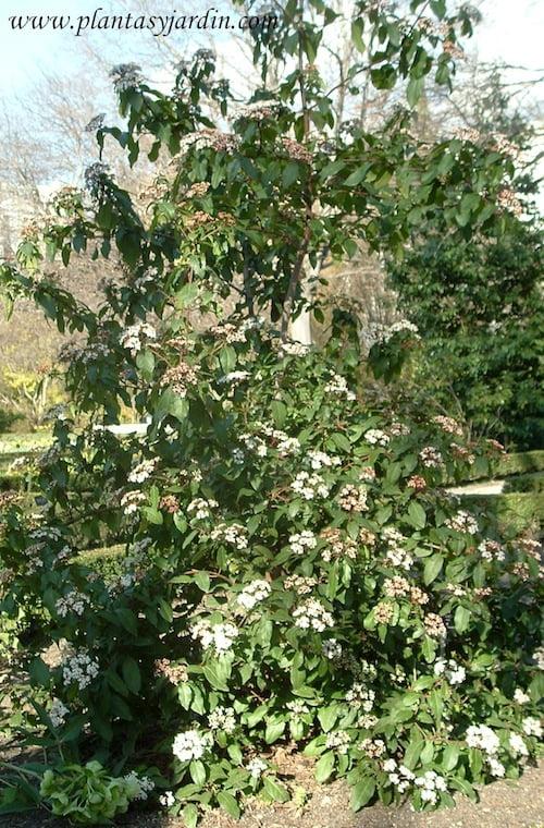 Viburnum tinus Compactum