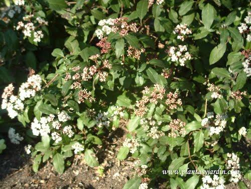 Viburnum tinus Compactum detalle follaje y flores