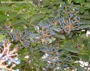Viburnum tinus Durillo detalle del fruto