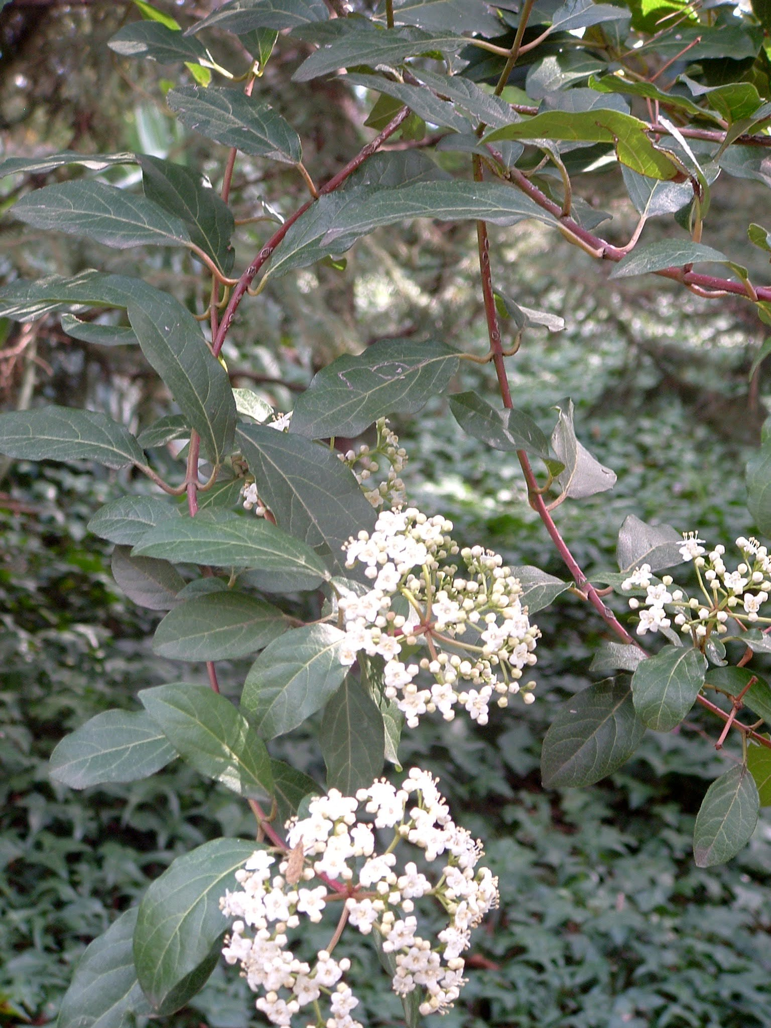 Viburnum tinus detalle de flor y hoja