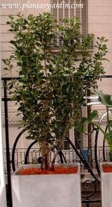 Viburnum tinus en maceta