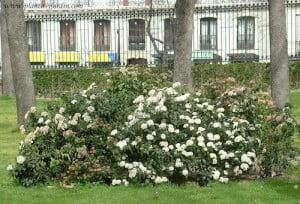 Viburnun tinus florecido en el invierno.