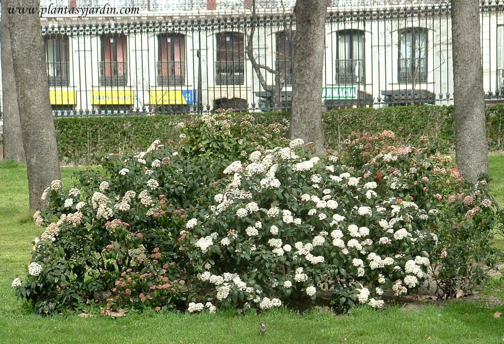 Viburnun tinus en el Parque del Buen Retiro en Madrid