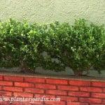 bordura de Buxus sempervirens