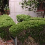 cerco de Buxus sempervirens