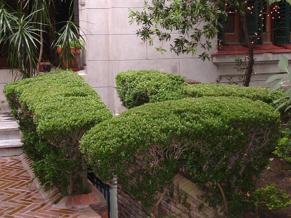 cerco de Buxus sempervirens