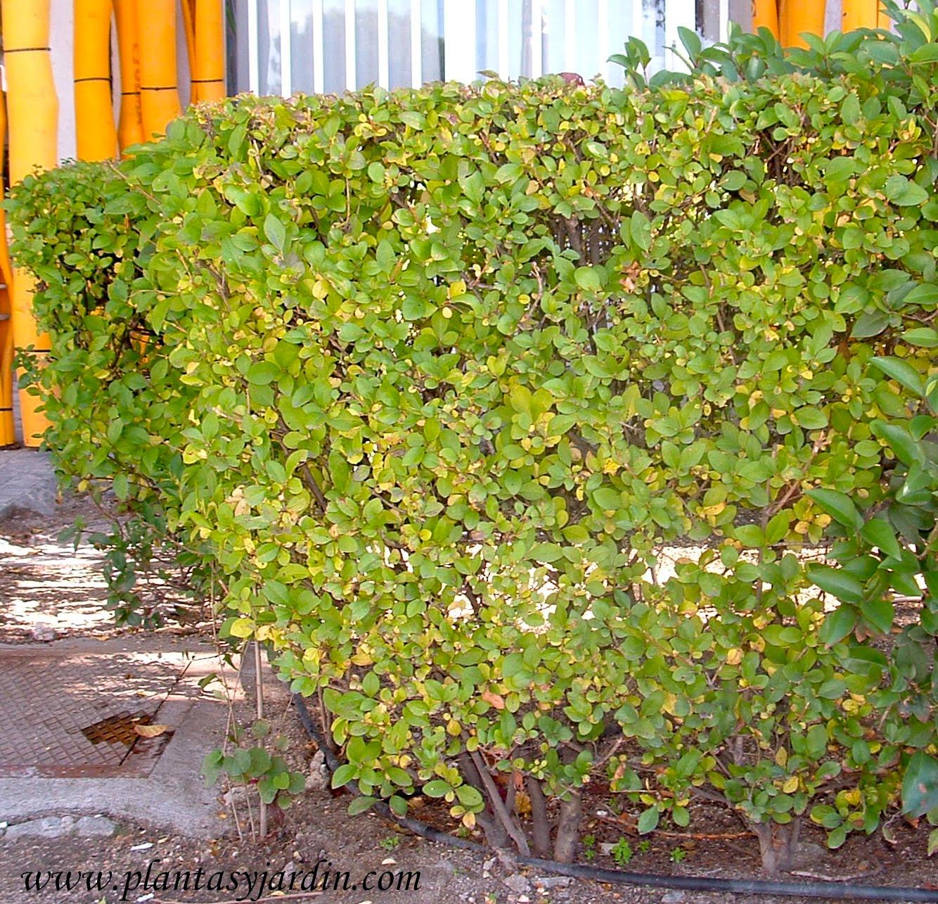 Cerco de duranta plantas jard n for Arbustos ornamentales para jardin
