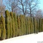 cortina de coniferas Cupressus sempervirens
