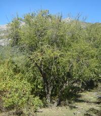 Acacia caven Aromo