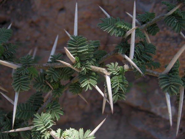Acacia caven detalle de hojas y espinas