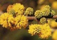 Acacia caven detalle flores
