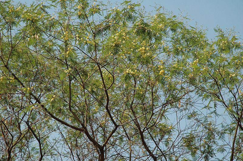 Acacia visco. Foto: Wikipedia
