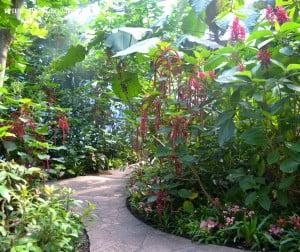 Acalypha hispida cultivada en jardin de invierno