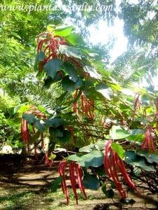 Acalypha hispida, floración en espigas péndulas.