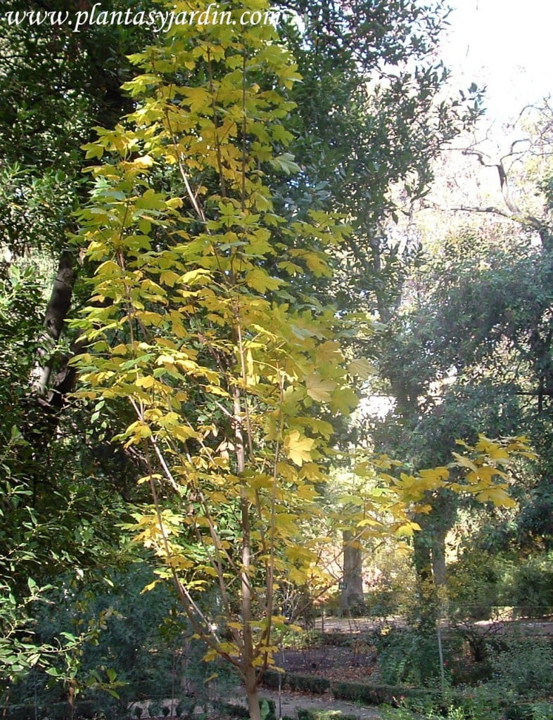 Acer campestre Arce