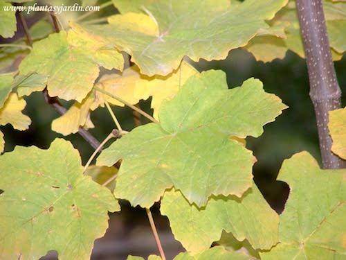 Acer opalus detalle de follaje en otoño