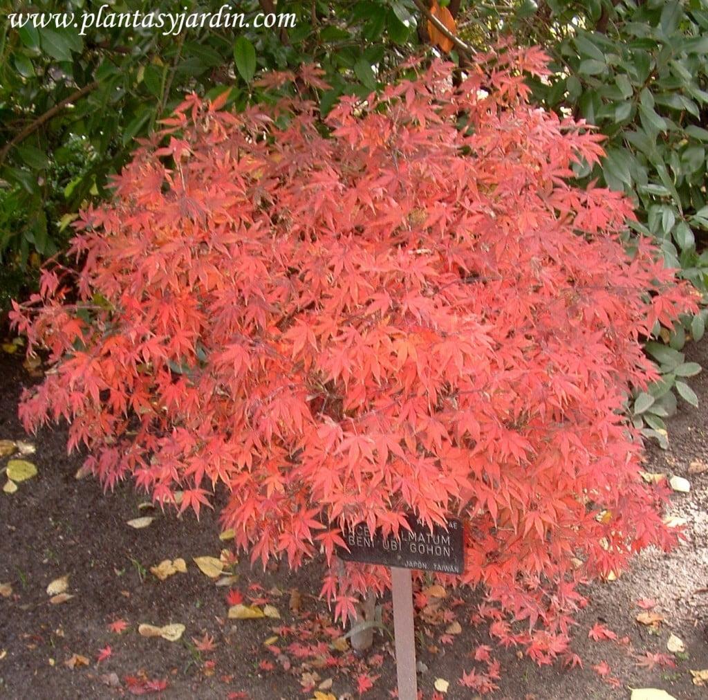 Acer palmatum Beni Ubi Gohom nativo de Japon y Taiwan