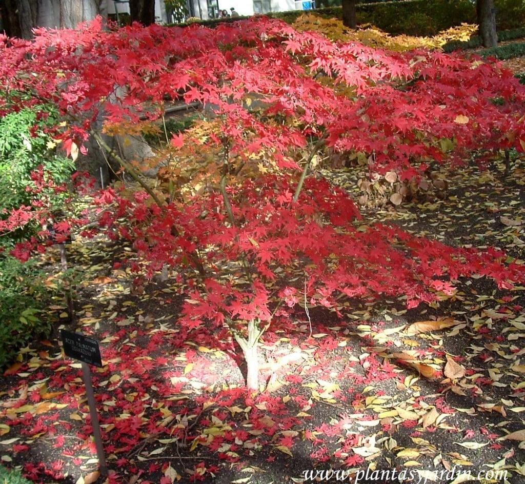 Acer palmatum Osakazuki en otoño