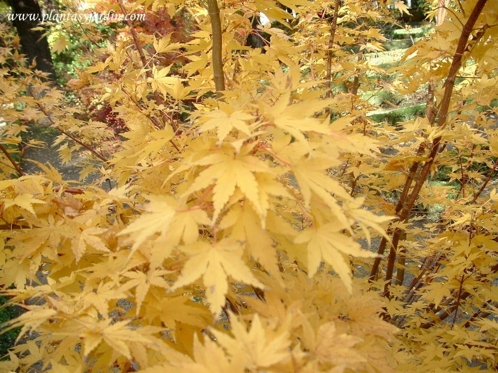 Acer palmatum Red Wood detalle de follaje en otoño