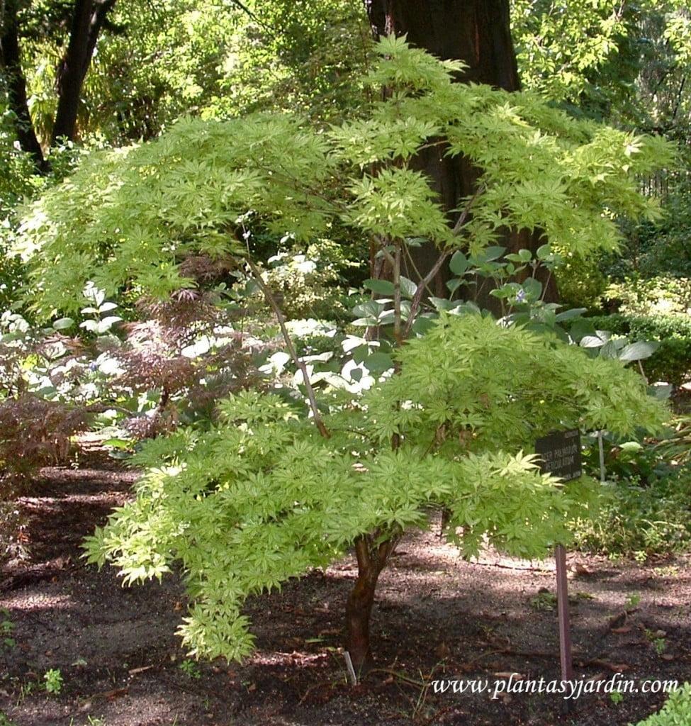 Acer palmatum Reticulatum