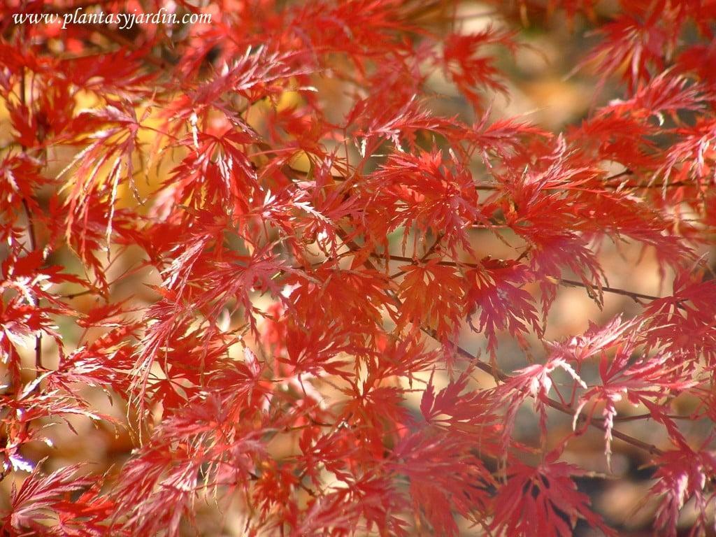 Acer palmatum Seiryu detalle follaje en otoño