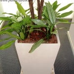 Aglaonema con chips en piramidal piedra paris y granza blanca