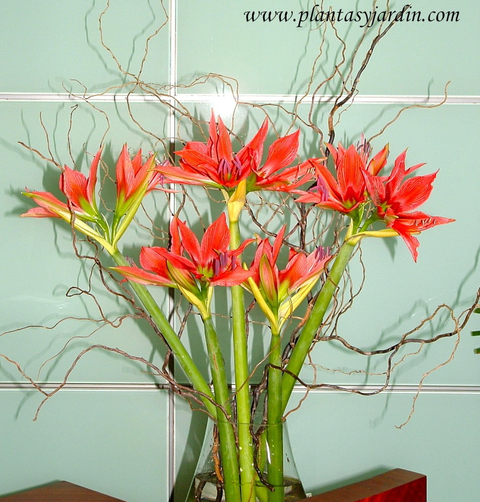 Amarillis como flor de corte en un bouquet floral con Sauce electrico