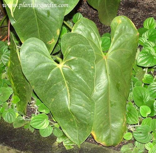 Anthurium andraeanum detalle hojas grandes y acorazonadas
