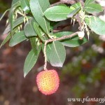 Arbutus unedo-Madroño, detalle de fruto