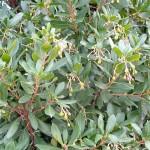 Arbutus unedo-Madroño, en invierno con pequeñitos futuros frutos en la planta
