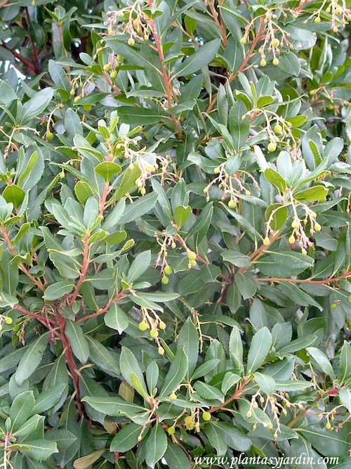 Arbutus unedo madro o plantas jard n for Arboles para plantar en invierno