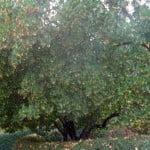 Arbutus unedo-Madrono