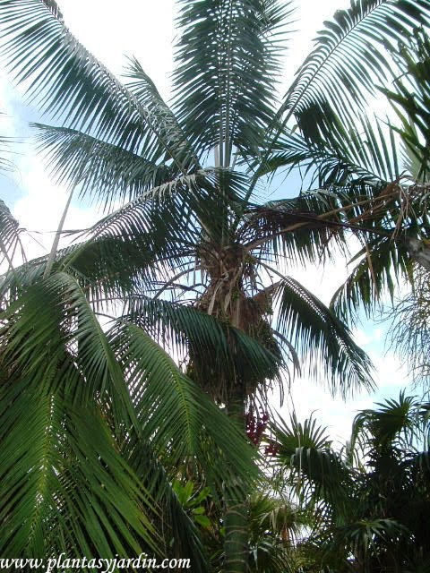 Archontophoenix cunninghamiana-Palma rey piccabean