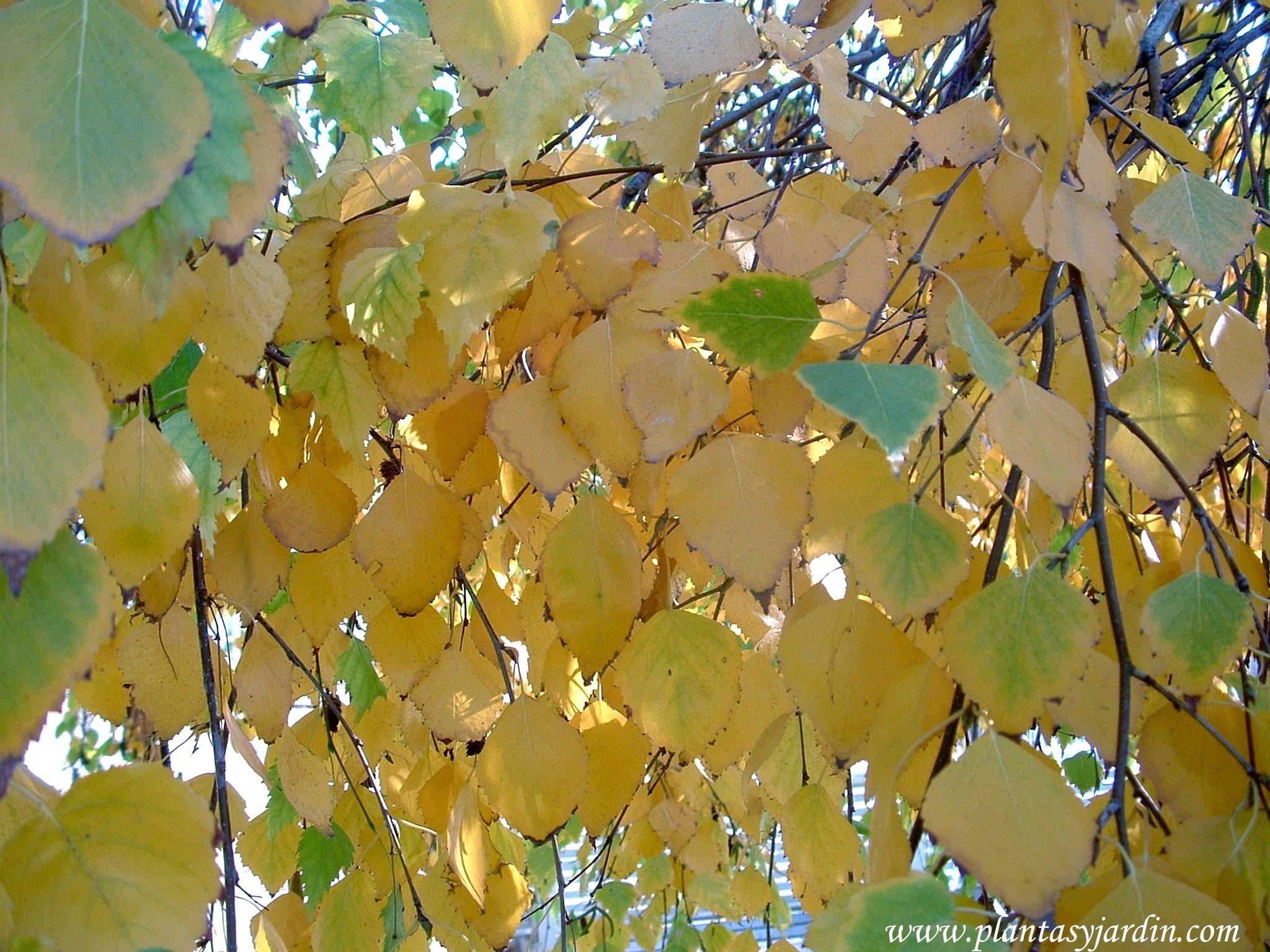 Betula pendula, Abedul detalle follaje amarillo dorado en otoño