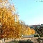 Betula pendula, Abedules en otoño