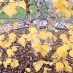 Betula pendula detalle follaje color otoñal